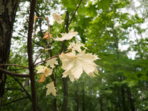 Gelbe Ahornblätter im grünen Wald Stockbild