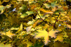 Gelbe Ahornholzblätter Lizenzfreies Stockbild