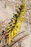 Gelbe Aloe-Vera-Blumen über der Mittellinie Boden-/Felsenhintergrund stockbilder