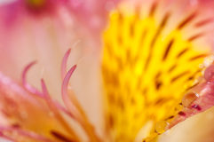 Gelbe Alstroemerianahaufnahme Stockfoto
