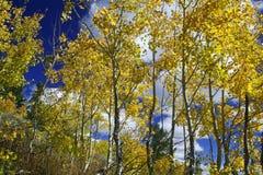 Gelbe Aspen-Bäume Stockfotografie