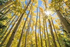 Gelbe Aspen-Bäume stockfotos