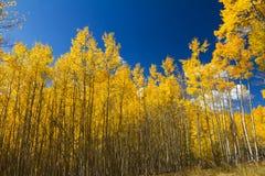 Gelbe Aspen-Bäume im Fall Stockfotografie