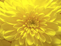 Gelbe Asterblume Lizenzfreie Stockfotos
