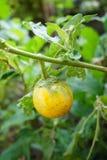 Gelbe Auberginenfrucht Lizenzfreies Stockfoto