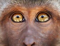 Gelbe Augen des Fallhammers schließen oben - Macaca fascicularis Stockfoto