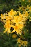 Gelbe Azalee Schöne frische rododendron Blume lizenzfreie stockfotografie