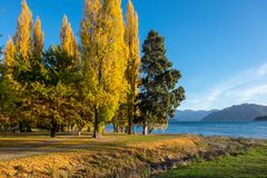 Gelbe Bäume des Herbstes um Wanaka See Stockfotos