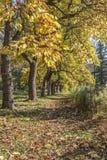 Gelbe Bäume im Herbst Stockfotos