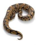 Gelbe Bauch-Kugel-Pythonschlange stockbild