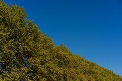Gelbe Baumgrenze mit klarem blauem Himmel Lizenzfreie Stockbilder