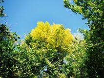 Gelbe Baumkronen Lizenzfreie Stockbilder