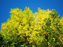 Gelbe Baumkronen Lizenzfreies Stockfoto