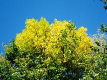 Gelbe Baumkronen Stockfoto