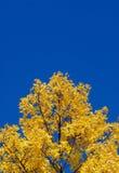 Gelbe Baumoberseite, freier Raum blaue SK Lizenzfreies Stockbild