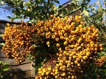 Gelbe Beeren Stockfotografie