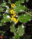 Gelbe Beeren auf Holly Bush Stockfotos