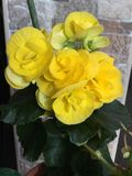 Gelbe Begonienblume Lizenzfreie Stockbilder