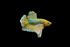 Gelbe betta Fische, Siamesischer Kampffisch oder beißende Fische Winkel des Leistungshebels-kad lokalisiert auf schwarzem Hinterg Lizenzfreies Stockbild