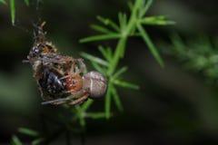 Gelbe Beutelspinne, die auf einer Biene erbeutet stockfotos