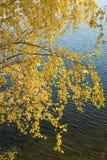 Gelbe Birke verlässt auf einem Hintergrund des Wassers Lizenzfreies Stockbild