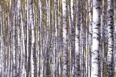 Gelbe Birken Lizenzfreie Stockbilder