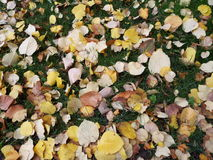 Gelbe Blätter auf grünem Gras Stockbild