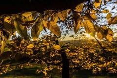 Gelbe Blätter des Herbstes Stockfotos