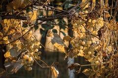 gelbe Blätter und Trauben sterben unter den Strahlen der Herbstsonne lizenzfreie stockfotografie