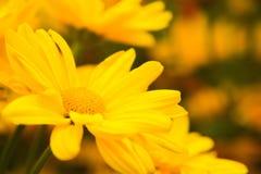 Gelbe blühende Blume gedrängte vielschüssel Stockfotos