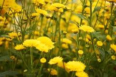 Gelbe blühende Blume gedrängte vielschüssel Lizenzfreies Stockfoto