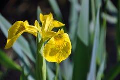 Gelbe blühende Irisanlage vom Abschluss Stockfotografie