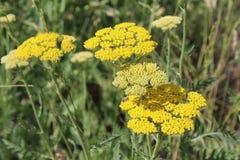 Gelbe blühende Schafgarbe (Achillea-millefolium) Lizenzfreies Stockbild