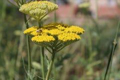 Gelbe blühende Schafgarbe (Achillea-millefolium) Lizenzfreie Stockfotos