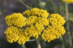 Gelbe blühende Schafgarbe (Achillea-millefolium) Lizenzfreies Stockfoto