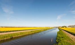 Gelbe blühende Tulpen und Narzissen trennten sich durch einen breiten Abzugsgraben Lizenzfreie Stockbilder
