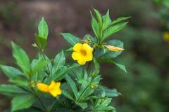 Gelbe Blüte Lizenzfreie Stockbilder