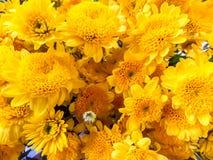 Gelbe Blüte der Chrysantheme Lizenzfreies Stockbild