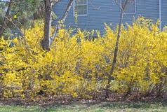 Gelbe Blüte eines Winterjasminbusches lizenzfreie stockbilder