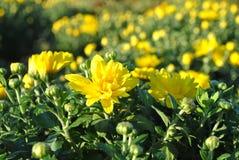 Gelbe Blüten und Knospen Stockbilder