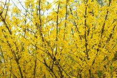 Gelbe Blütenbüsche von Forsythie Stockfoto