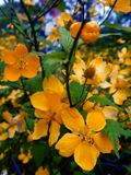 Gelbe Blütenstände auf einem Busch in der Tageszeit draußen Lizenzfreies Stockfoto