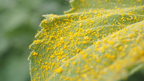 Gelbe Blütenstaubsonnenblume auf Blatt Stockfoto