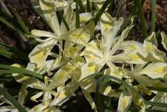 Gelbe Blatt-Iris Stockbild