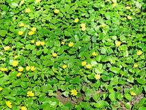 Gelbe blaue Blumen, goldene blaue Blume, Teppich von Blumen Stockfotografie