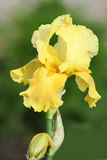 Gelbe Blende Stockfoto