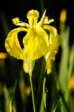 Gelbe Blende Blume Lizenzfreies Stockfoto