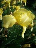 Gelbe Blende Blume Lizenzfreie Stockfotos