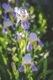 Gelbe Blenden im Garten Lizenzfreie Stockfotografie