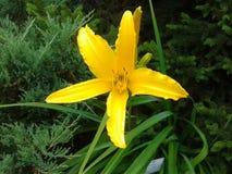 Gelbe Blume 1 Lizenzfreie Stockfotos